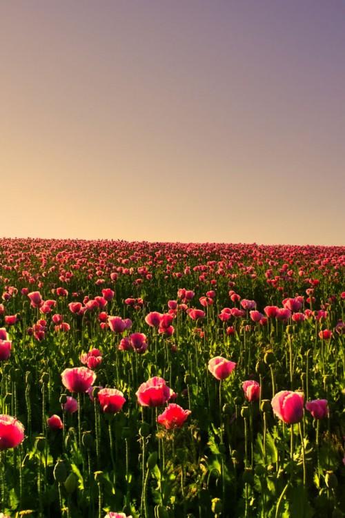 tulipe 500x750 Les 3 Wallpapers iPhone du jour (02/03/12)