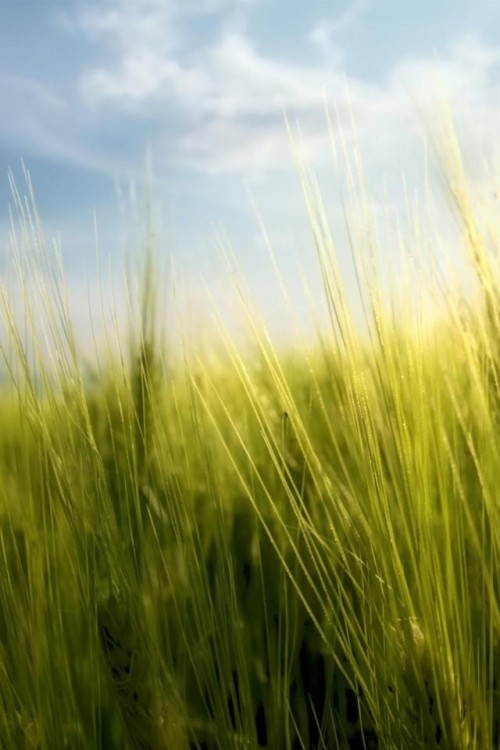 Tall Wheat Field 500x750 Les 3 Wallpapers iPhone du jour (07/04/12)