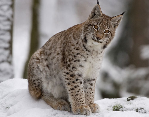 OS X Lynx Le lynx sera léffigie du prochain OS X 10.9