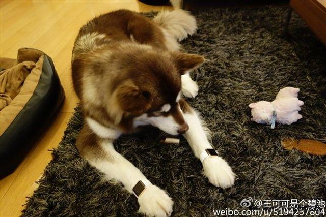 13015 7371 wang si cong dog apple watch1 l Il offre deux Apple Watch Edition...à son chien